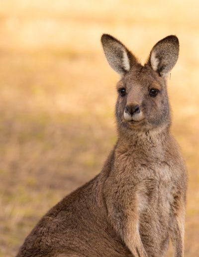 kangaroo, marsupial, mammal
